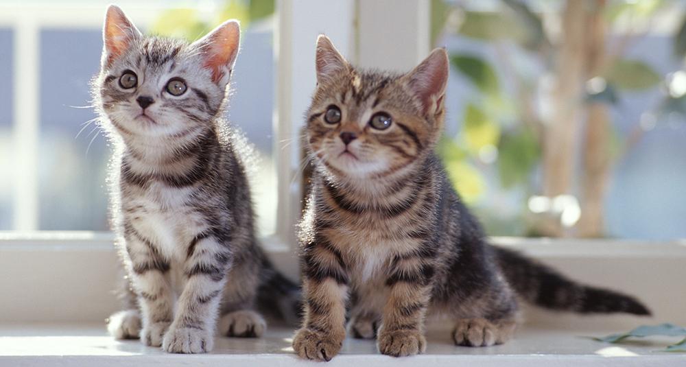 Katte kan blive forgiftede af loppemidler til hunde